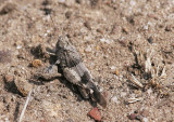 Blåvingad sandgräshoppaBlue-winged Grasshopper(Oedipoda caerulescens)