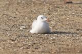 Rödnäbbad trutAudouin's Gull(Ichthyaetus audouinii)