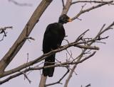 KoltrastEurasian Blackbird(Turdus merula)