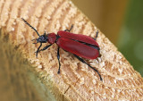 Stor kardinalbagge(Pyrochroa coccinea)