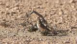 KorttålärkaGreater Short-toed Lark(Calandrella brachydactyla)
