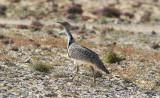 ÖkentrappHoubara Bustard(Chlamydotis undulata fuertaventurae)