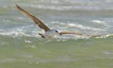 MedelhavstrutYellow-legged Gull(Larus michahellis)