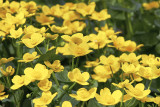 KabblekaMarsh-marigoldCaltha palustris