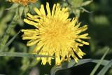 OgräsmaskrosorTaraxacum sect. ruderalia