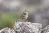 BofinkChaffinch (Azores)(Fringilla coelebs moreletti)