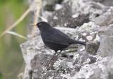 KoltrastEurasian Blackbird (Azores)(Turdus merula azorensis)