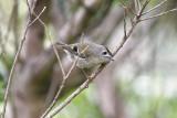 KungsfågelGoldcrest (Western Azores)(Regulus regulus inermis)