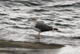 Medelhavstrut (Atlantis)Yellow-legged Gull (Atlantic)(Larus michahellis atlantis)