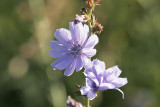 CikoriaChicory Cichorium intybus