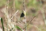 KanariefågelIsland CanarySerinus canaria