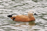 RostandRuddy ShelduckTadorna ferruginea