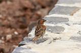 Kapverde sparvIago SparrowPasser iagoensis