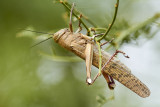 VandringsgräshoppaMigratory LocustLocusta migratoria