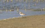 ÖkenpipareGreater Sand PloverCharadrius leschenaultii