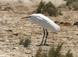 SilkeshägerLittle Egret(Egretta garzetta)
