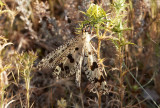 MyrlejonsländaPalpares libelluloides