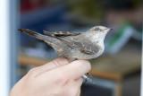 HöksångareBarred WarblerSylvia nisoria
