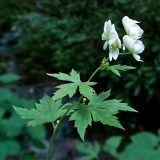White Monkshood 1