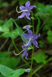 Tall Bellflower 2