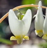Dutchman's Breeches 3