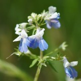 Blue-eyed Mary 2