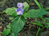 Carolina Wild Petunia 1