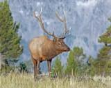 Elk1.jpg