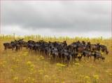 Black Fallow Deer.