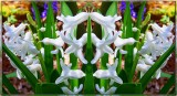 Hyacinth Posse