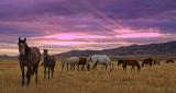 Wild Mustang Herd at Sunrise.