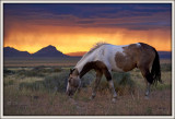 Pinto Stallion with sunset