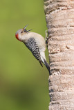 Pic à ventre roux -- Red-bellied woodpecker