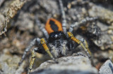 Salticidae - Jumping spiders