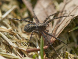 Lycosidae - Wolf spiders
