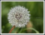 Seeding Dandelion.jpg