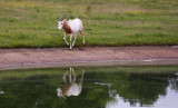 Reflected Oryx