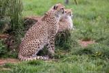 Cheetah's