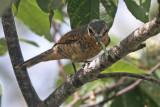 Palau Cicadabird