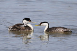 Western Grebe family
