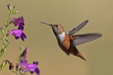 Hummingbirds and swifts