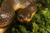 Gulf Crayfish Snake