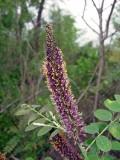 False Indigo (Amorpha fruiticosa)