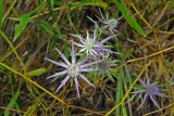 Eryngo (Eryngium hookeri)