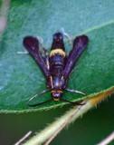 Boneset Borer Moth