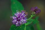 Missouri Ironweed (Vernonia missurica)