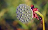 American Lotus Seedpod