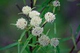 Narrowleaf mountainmint (Pycnanthemum tenuifolium)