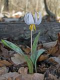 White Trout-lily