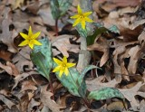 Yellow Trout-lilies